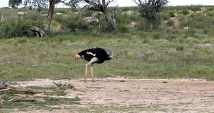 Strauß in grünem Kalahari, Afrika Safari wild lebender Tiere stock video footage