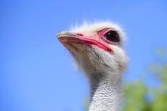 Strauß im Klein-Karoo, Südafrika Stockbild