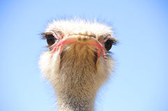 Strauß im Klein-Karoo, Südafrika Lizenzfreie Stockfotos