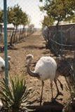 Strauß im Zoo Lizenzfreie Stockfotografie