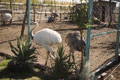 Strauß im Zoo Stockbild