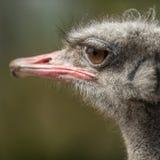 Strauß-Kopf, großes Augen avestruz Stockfotografie
