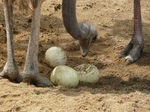 Strauß mit Eiern Stockfoto