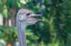 Strauß (Struthio camelusin) Stockfotos
