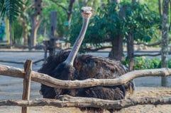 Strauß (Struthio camelusin) Lizenzfreie Stockbilder