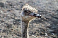 Strauß am Zoo in Belgrad Lizenzfreie Stockbilder