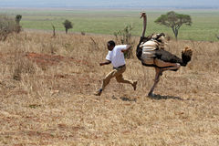 Straußangriff in Nationalpark Tarangire in Tansania Stockbilder
