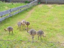 Straußküken in der Gruppe auf Bauernhof, Straußlandwirtschaft Lizenzfreie Stockfotografie