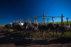 Straußmenge in Herden gelebt Lizenzfreie Stockfotos
