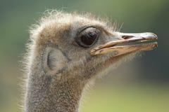 Straußporträt Struthio Camelus Stockfoto