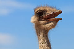 Straußvogel in der Nahaufnahme Lizenzfreie Stockfotografie