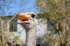 Strau?portraitabschlu? oben Neugieriges Emu auf Bauernhof Ver?rgertes Strau?gesicht Lustige haarige Emunahaufnahme Konzept der wi stockfoto