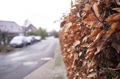 Strauch - eine Hecke mit trockenen braunen Blättern ist an dem Bürgersteig auf einer kleinen Straße mit Parkplatz nahe den Häuser lizenzfreies stockbild