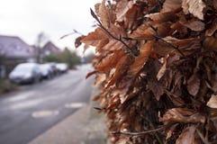 Strauch - eine Hecke mit trockenen braunen Blättern ist an dem Bürgersteig auf einer kleinen Straße mit Parkplatz nahe den Häuser stockfotografie