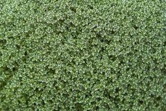 Strauch mit kleinen grünen Blättern Stockfoto