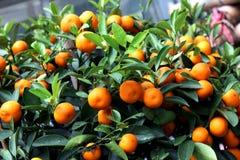 Strauch mit Mandarinen Stockbilder