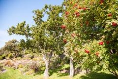 Strauch mit vielen roten Beeren auf Niederlassungen Lizenzfreies Stockbild