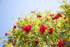Strauch mit vielen roten Beeren auf Niederlassungen Stockbild