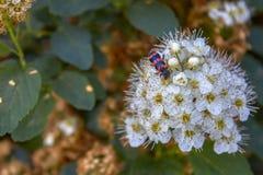 Strauch Spiraea chamaedryfolia 'Ulmen-Spierstrauch 'mit frischem grünem Laub und weiße umbels im Frühjahr und ein Käfer auf der B lizenzfreie stockbilder