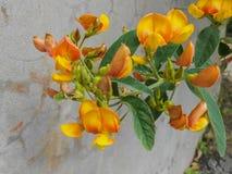 Straucherbsen-Blüten in der nahen Ansicht lizenzfreie stockbilder