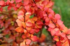 Strauchherbstdornen, rote Blätter, kalte bewölkte ruhige Schönheit der Leuchtorange Stockbilder