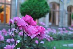 Strauchrosen auf einem Blumenbeet Stockfoto