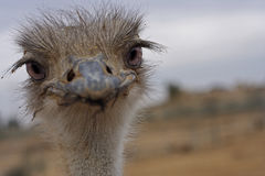 Straus. Female ostrich desert Negev, Israel Royalty Free Stock Photography