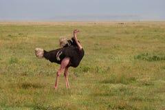 Straus in het Gebied van het Behoud Ngorongoro stock foto