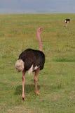Straus i det Ngorongoro naturvårdsområdet Arkivfoto