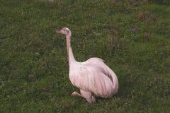 Strauss i zoo royaltyfri foto