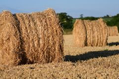 Straw bails in a corn field. Straw bails dotted around on corn stubble on a summers day royalty free stock photo