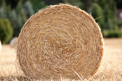Straw bale on cornfield in summer harvest Stock Images
