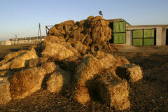 Straw bales. In farmyard royalty free stock image