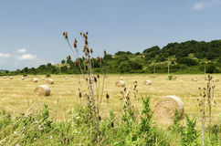 Straw bales in a field during the summer harvest and thistle. Straw bales in a field during the summer harvest stock images