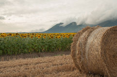 Straw bales in the newly harvested fields and sunflowers Stock Images