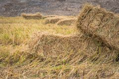 Straw bales on rice field. Royalty Free Stock Images
