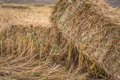 Straw bales on rice field. Royalty Free Stock Image