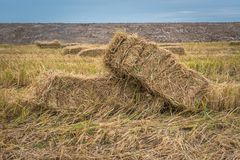 Straw bales on rice field. Stock Photography