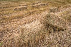 Straw bales on rice field. Stock Image