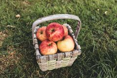 Straw basket full of apples lays on the grass royalty free stock image