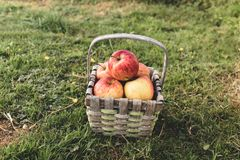 Straw basket full of apples lays on the grass stock photos