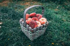 Straw basket full of donut peaches laying on the grass royalty free stock photos