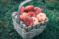 Straw basket full of donut peaches laying on the grass stock photo