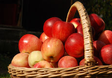 Straw basket with many apples Royalty Free Stock Images