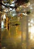 Straw beard lichen Royalty Free Stock Photo
