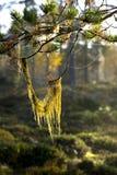Straw beard lichen Stock Photo