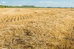 Straw from close on a large stubble field Royalty Free Stock Photography
