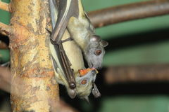 Straw-colored fruit bat Stock Photo