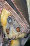 Straw Coloured Fruit Bat (Eidolon Helvum). Roosting Straw Coloured Fruit Bat hanging from a branch royalty free stock images