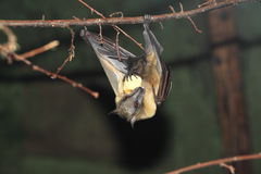 Straw-coloured fruit bat. Hanging on the branch royalty free stock images